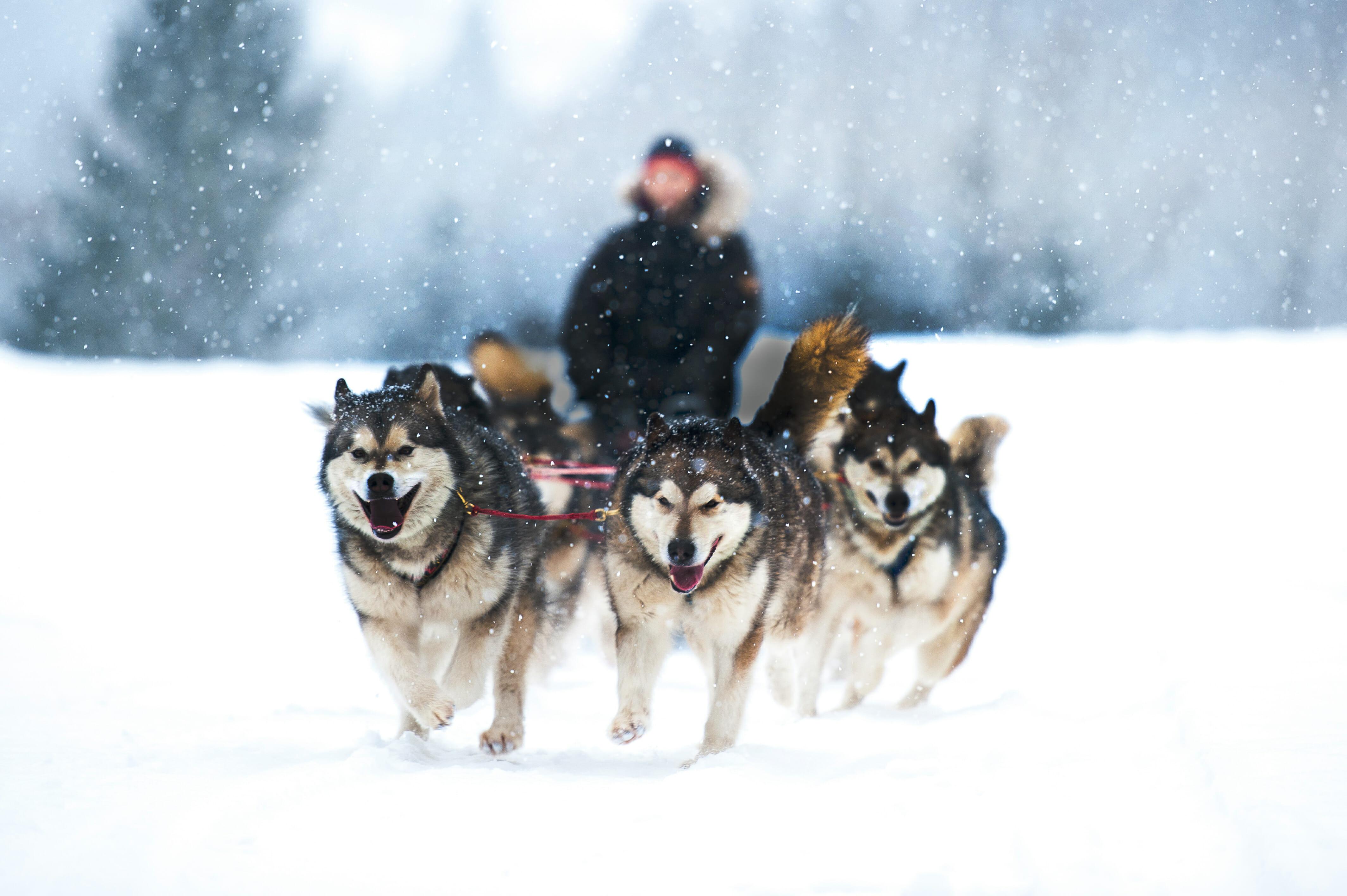 2-RESIZED-dog-sledding-wint-darkened-shutterstock_478700209